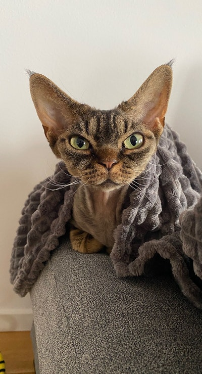 Nona the Devon Rex